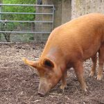 Mudchute_farm_pig_side