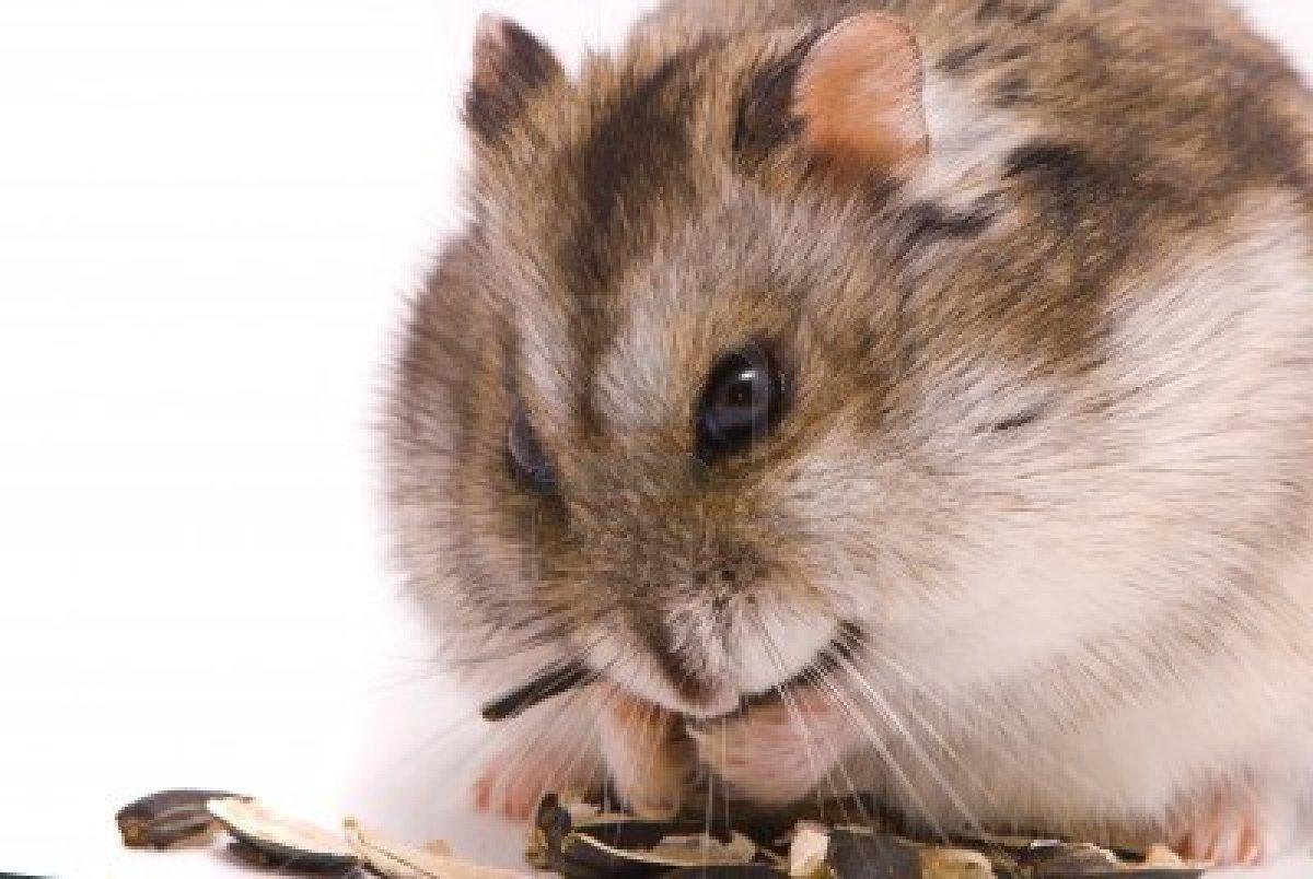hamster-campell